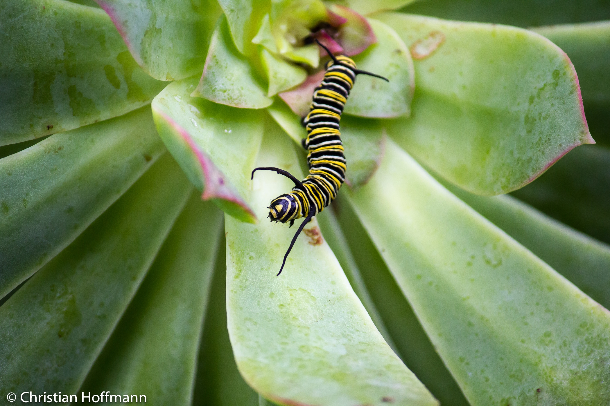 Raupe des Monarchfalters