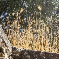 Naxos - Panagia Drossiani - Mauer mit wildem Getreide