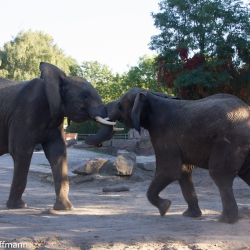 Tierpark Berlin - Elefantenkampf